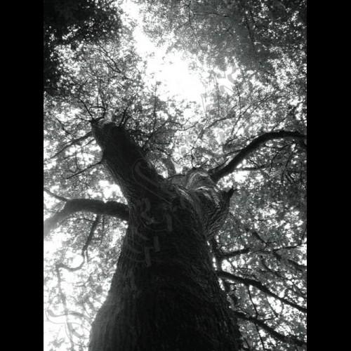 Baum 17